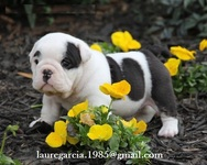 Preciosos Cachorros Bulldog Ingles - Animales en General - San Antonio