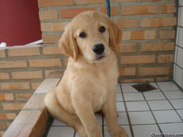 Golden retriever a venda