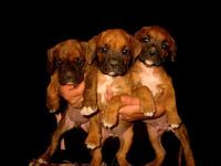 Cachorritos Boxer