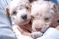 Vendo 2 cachoros poodle toy