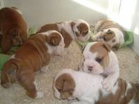 Cachorros bulldog ingles - Animales en General - Antofagasta