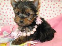 regalo cachorro de yorkshire terrier.  - Animales en General - La Florida