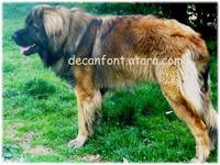 cachorros de Leonberger - Animales en General - Todo Chile