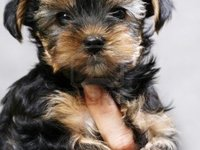 Yorkshire Terrier Cachorros - Animales en General - Antofagasta