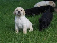 Cachorros labrador retriever  - Animales en General - Taltal
