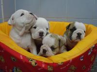 LINDOS BULLDOG INGLES - Animales en General - Valledupar