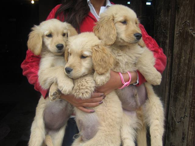Hermosos cachorros golden retriever quito