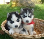 hermoso siberian huskies cachorros disponibles