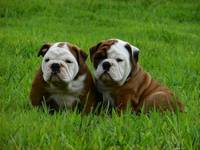 Hermosos Cachorros Bulldog Ingles, Super Chatos Y Arrugados, - Animales en General - Izamal