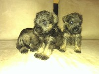 Schnauzer Mini Puras 350.00 ULTIMAS - Mascotas - Arraiján