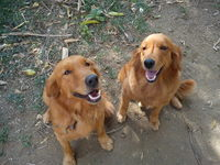 se venden preciosos golden retrivers puppies - Mascotas - Cayey