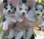 admirables cachorros Siberian Husky - Animales en General - Ponce