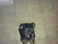 Puppy  for sale - Animales en General - San Angelo