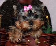 Micro Pocket Teacup Yorkie For Adoption .Hello welcome and thanks for viewing our post . and if interested read and contact as soo - Anim...